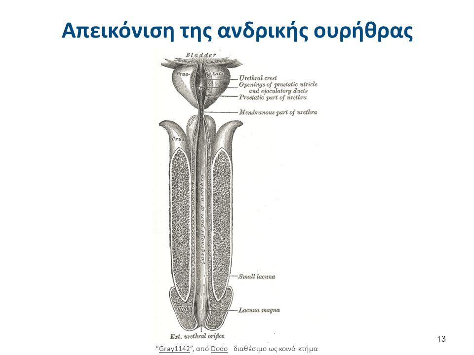 """Απεικόνιση της ανδρικής ουρήθρας 13 """"Gray1142"""", από Dodo διαθέσιμο ως κοινό κτήμαGray1142Dodo"""