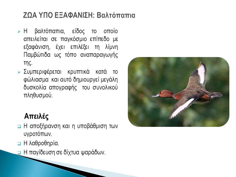  Η βαλτόπαπια, είδος το οποίο απειλείται σε παγκόσμιο επίπεδο με εξαφάνιση, έχει επιλέξει τη λίμνη Παμβώτιδα ως τόπο αναπαραγωγής της.  Συμπεριφέρετ