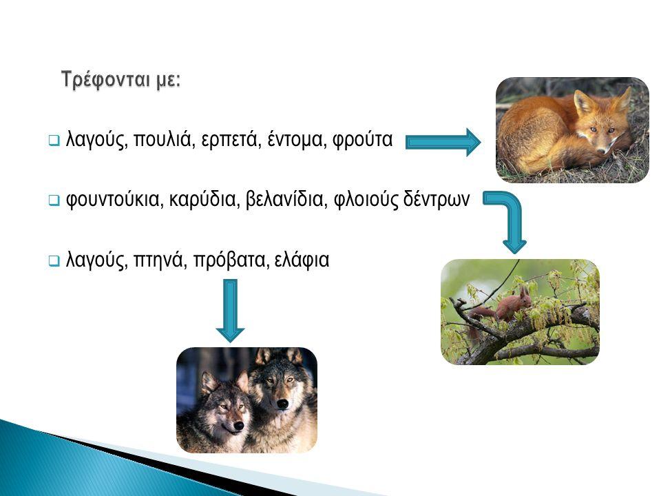  λαγούς, πουλιά, ερπετά, έντομα, φρούτα  φουντούκια, καρύδια, βελανίδια, φλοιούς δέντρων  λαγούς, πτηνά, πρόβατα, ελάφια