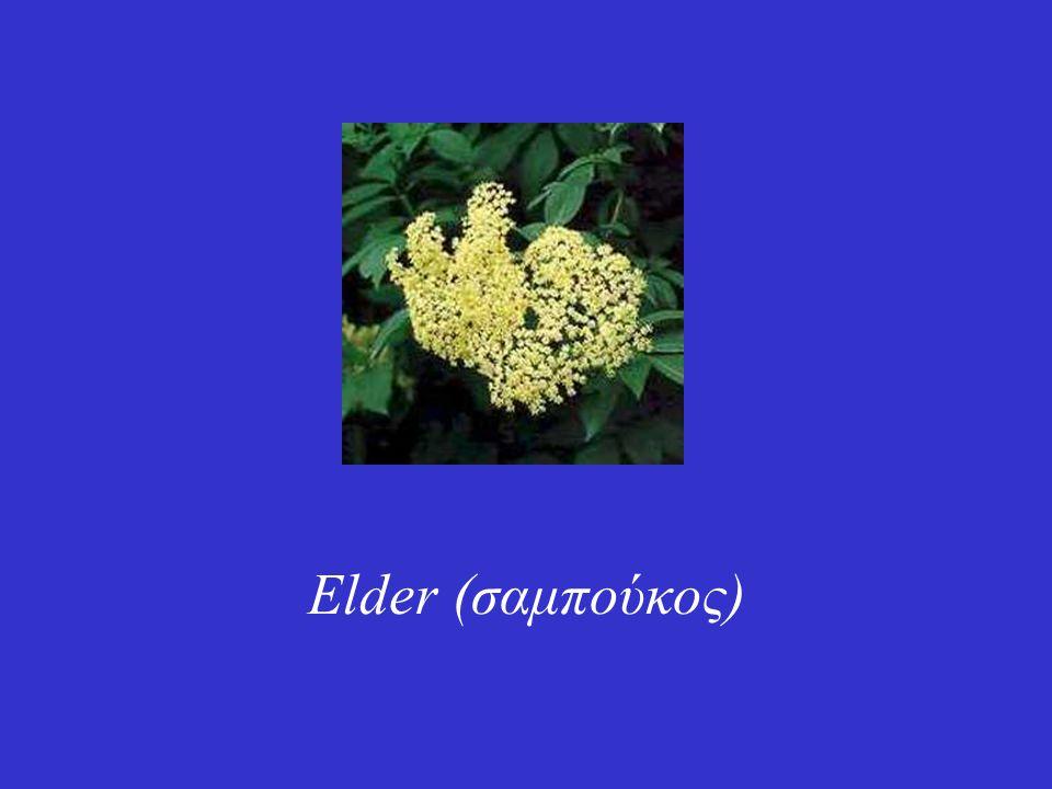 Γνωστό στην Ελλάδα με διάφορες κοινές ονομασίες όπως σαμπούκος, ζαμπούκος, κουφοξυλιά, αφροξυλιά, ακταία, ανήκει στην οικογένεια των Caprifoliaceae.