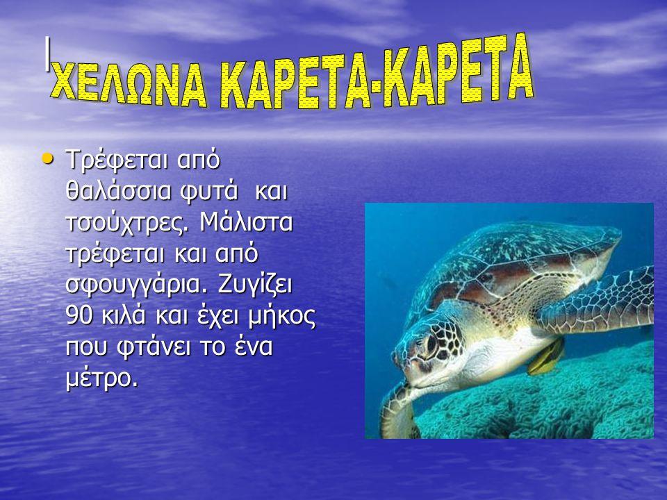 | Τρέφεται από θαλάσσια φυτά και τσούχτρες. Μάλιστα τρέφεται και από σφουγγάρια. Ζυγίζει 90 κιλά και έχει μήκος που φτάνει το ένα μέτρο. Τρέφεται από