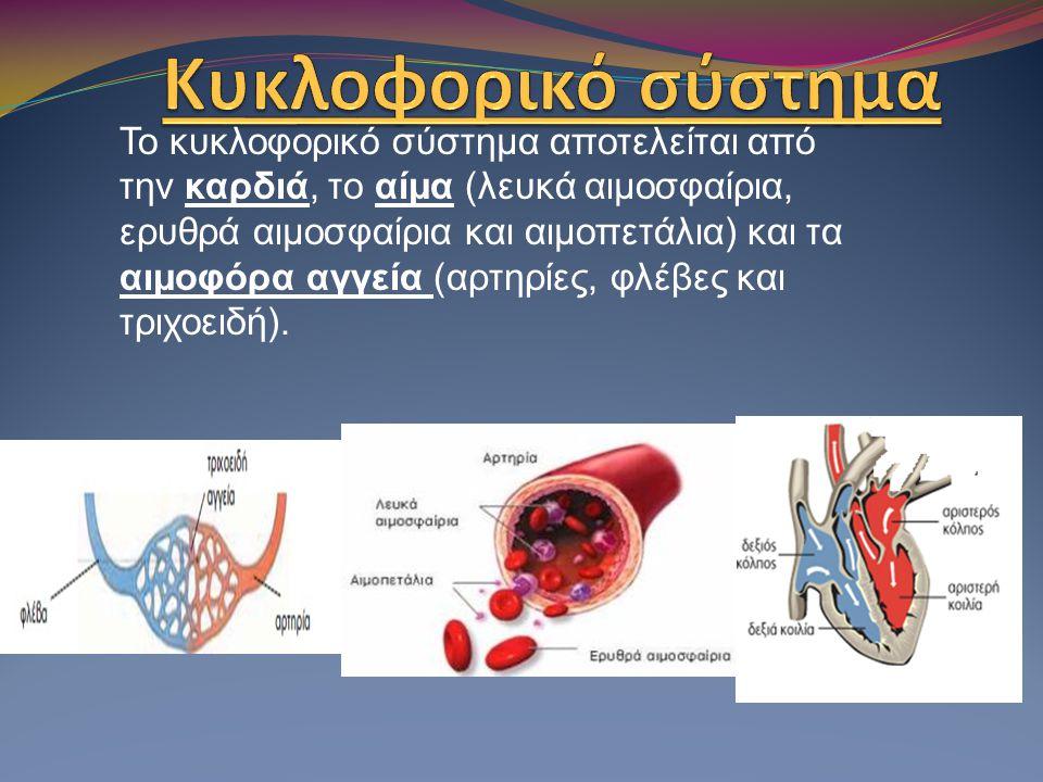 Το κυκλοφορικό σύστημα αποτελείται από την καρδιά, το αίμα (λευκά αιμοσφαίρια, ερυθρά αιμοσφαίρια και αιμοπετάλια) και τα αιμοφόρα αγγεία (αρτηρίες, φ