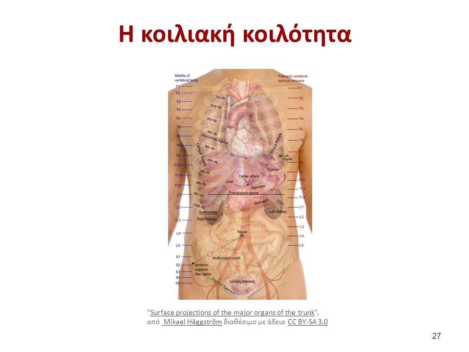 """Η κοιλιακή κοιλότητα 27 """"Surface projections of the major organs of the trunk"""", από Mikael Häggström διαθέσιμο με άδεια CC BY-SA 3.0Surface projection"""
