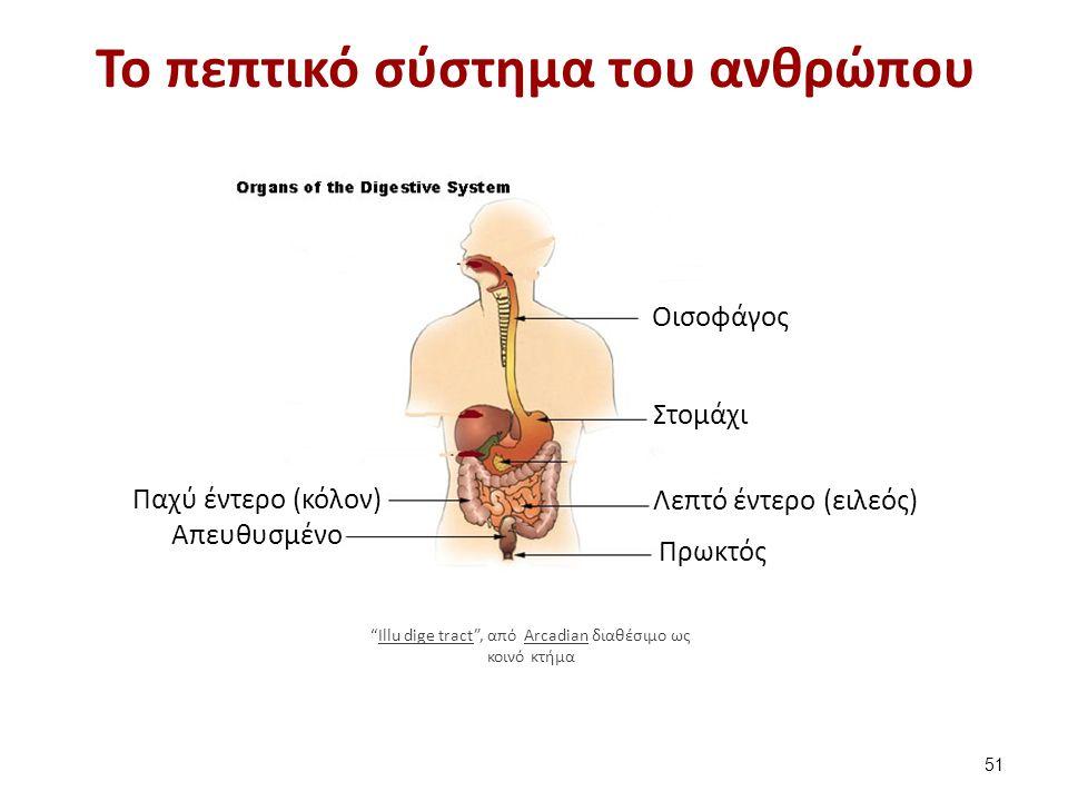 """Το πεπτικό σύστημα του ανθρώπου 51 Οισοφάγος Στομάχι Λεπτό έντερο (ειλεός) Παχύ έντερο (κόλον) Απευθυσμένο Πρωκτός """"Illu dige tract"""", από Arcadian δια"""