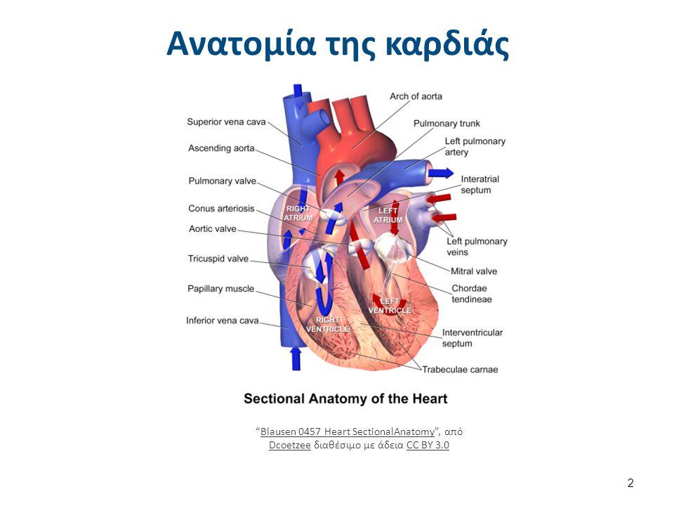 """Ανατομία της καρδιάς """"Blausen 0457 Heart SectionalAnatomy"""", από Dcoetzee διαθέσιμο με άδεια CC BY 3.0Blausen 0457 Heart SectionalAnatomy DcoetzeeCC BY"""
