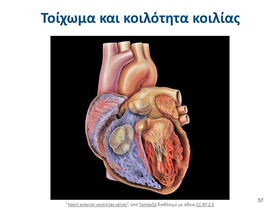 """Τοίχωμα και κοιλότητα κοιλίας """"Heart anterior ventricles valves"""", από Tamba52 διαθέσιμο με άδεια CC BY 2.5Heart anterior ventricles valvesTamba52CC BY"""