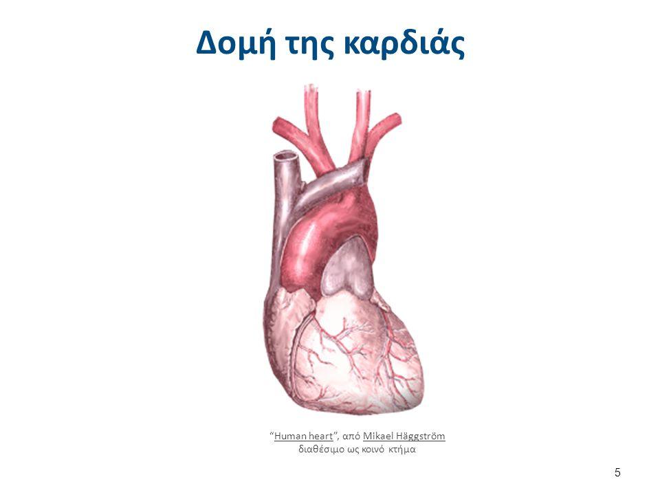"""Δομή της καρδιάς """"Human heart"""", από Mikael Häggström διαθέσιμο ως κοινό κτήμαHuman heartMikael Häggström 5"""