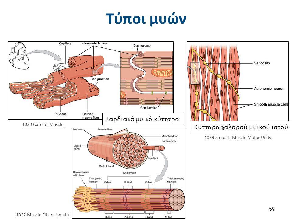 Τύποι μυών 1022 Muscle Fibers (small) Καρδιακό μυϊκό κύτταρο Κύτταρα χαλαρού μυϊκού ιστού 1020 Cardiac Muscle 1029 Smooth Muscle Motor Units 59