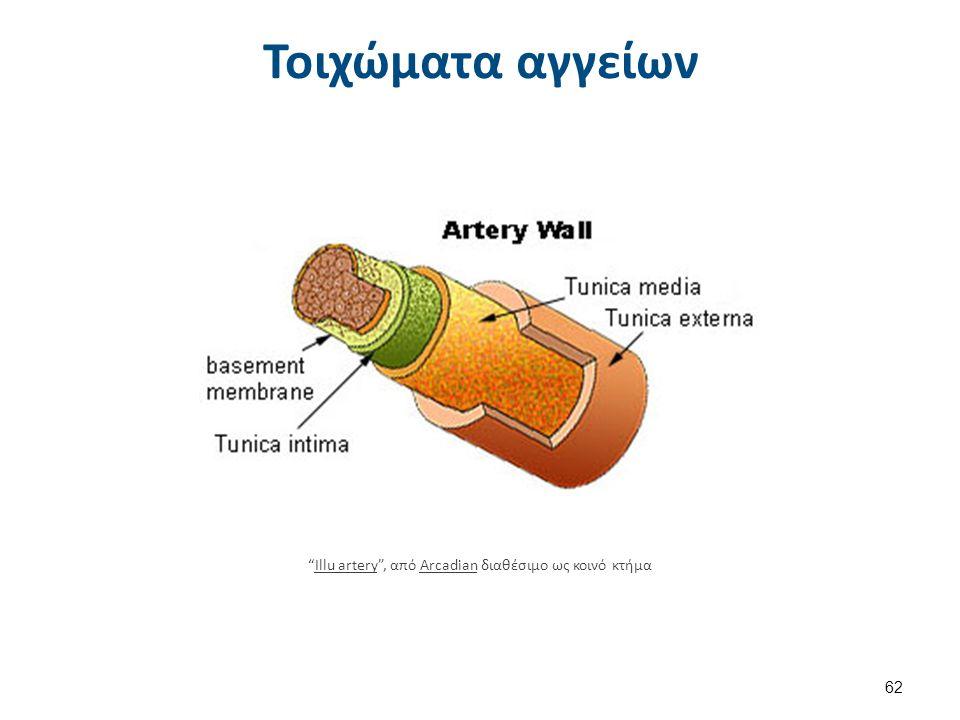 """Τοιχώματα αγγείων """"Illu artery"""", από Arcadian διαθέσιμο ως κοινό κτήμαIllu arteryArcadian 62"""