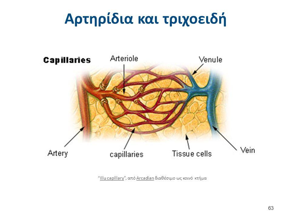 """Αρτηρίδια και τριχοειδή """"Illu capillary"""", από Arcadian διαθέσιμο ως κοινό κτήμαIllu capillaryArcadian 63"""