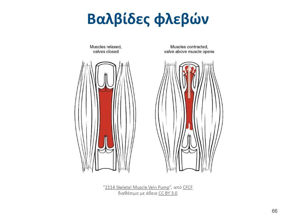 """Βαλβίδες φλεβών """"2114 Skeletal Muscle Vein Pump"""", από CFCF διαθέσιμο με άδεια CC BY 3.02114 Skeletal Muscle Vein PumpCFCFCC BY 3.0 66"""