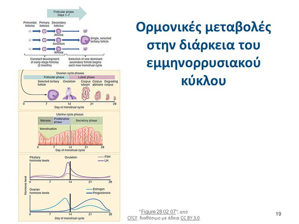 """Ορμονικές μεταβολές στην διάρκεια του εμμηνορρυσιακού κύκλου 19 """" Figure 28 02 07 """", από CFCF διαθέσιμο με άδεια CC BY 3.0 Figure 28 02 07 CFCFCC BY 3"""