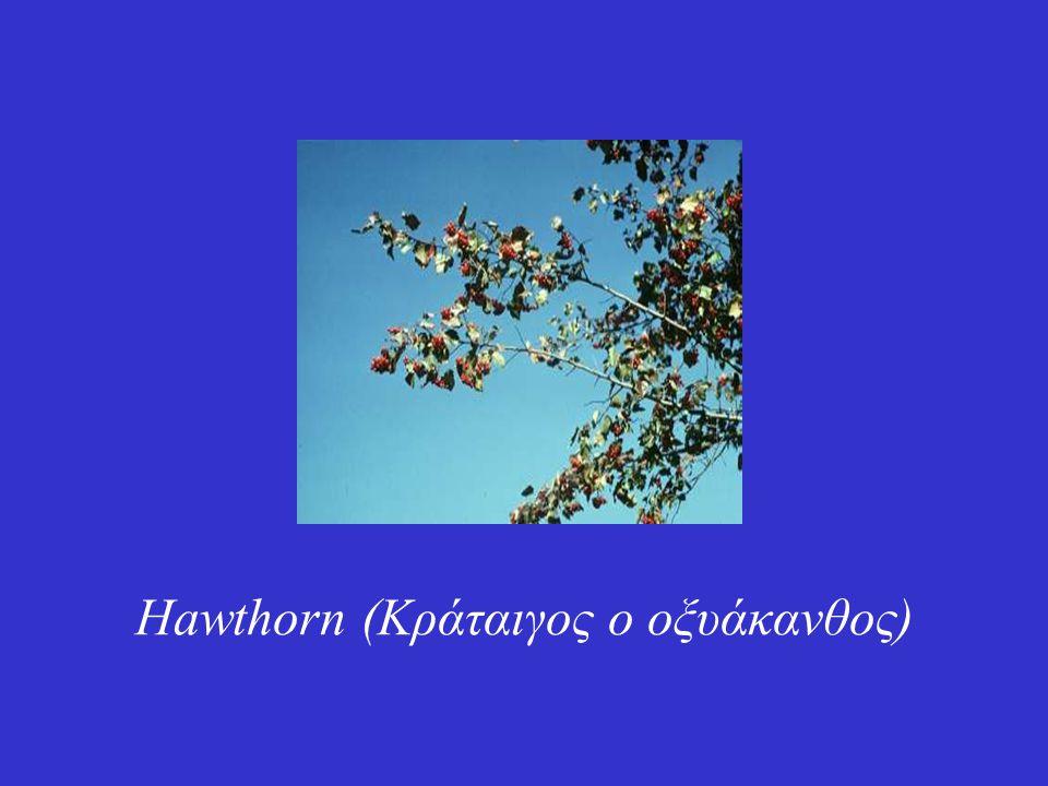 Hawthorn (Κράταιγος ο οξυάκανθος)