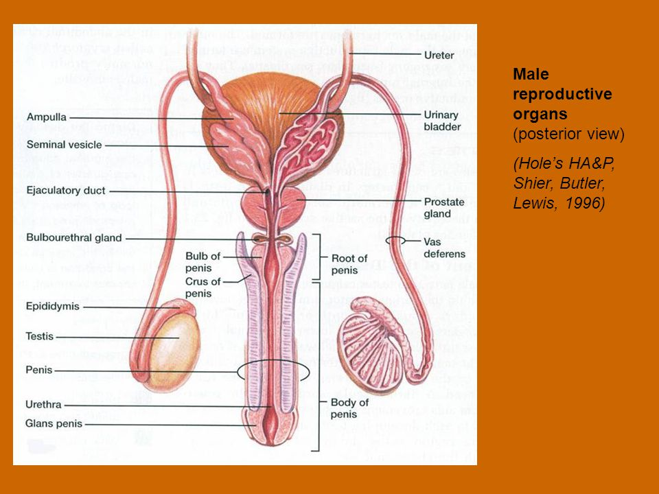 Male reproductive organs (posterior view) (Hole's HA&P, Shier, Butler, Lewis, 1996)