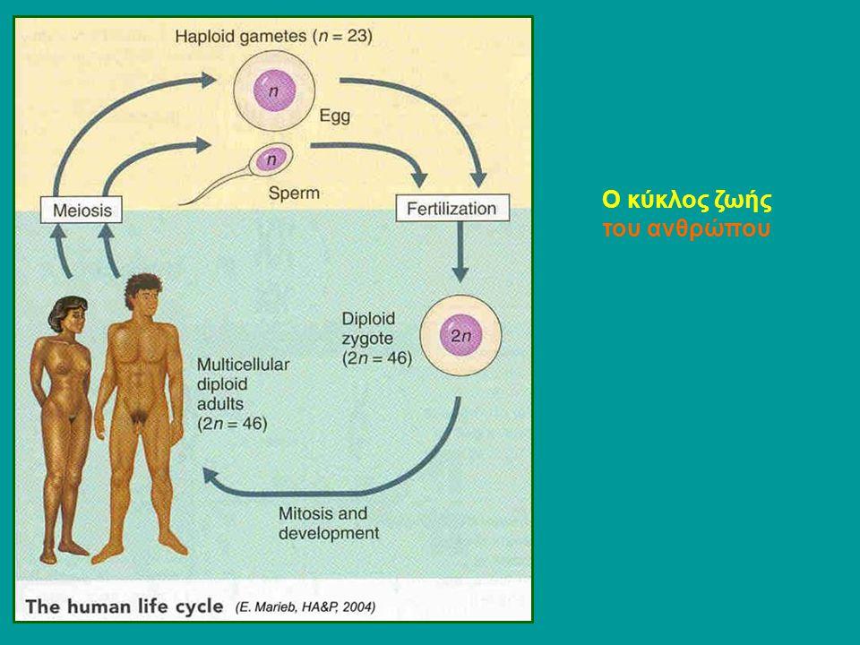 Ο κύκλος ζωής του ανθρώπου