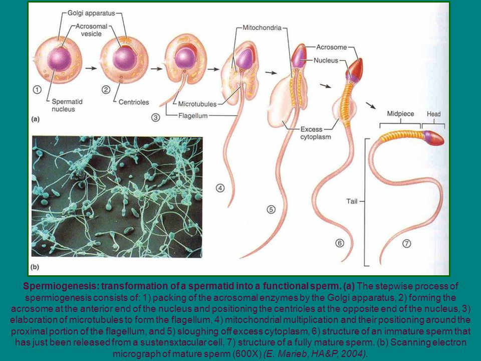 Spermiogenesis: transformation of a spermatid into a functional sperm. (a) The stepwise process of spermiogenesis consists of: 1) packing of the acros