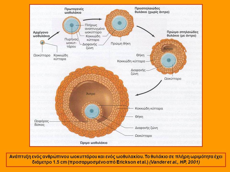 Ανάπτυξη ενός ανθρώπινου ωοκυττάρου και ενός ωοθυλακίου.