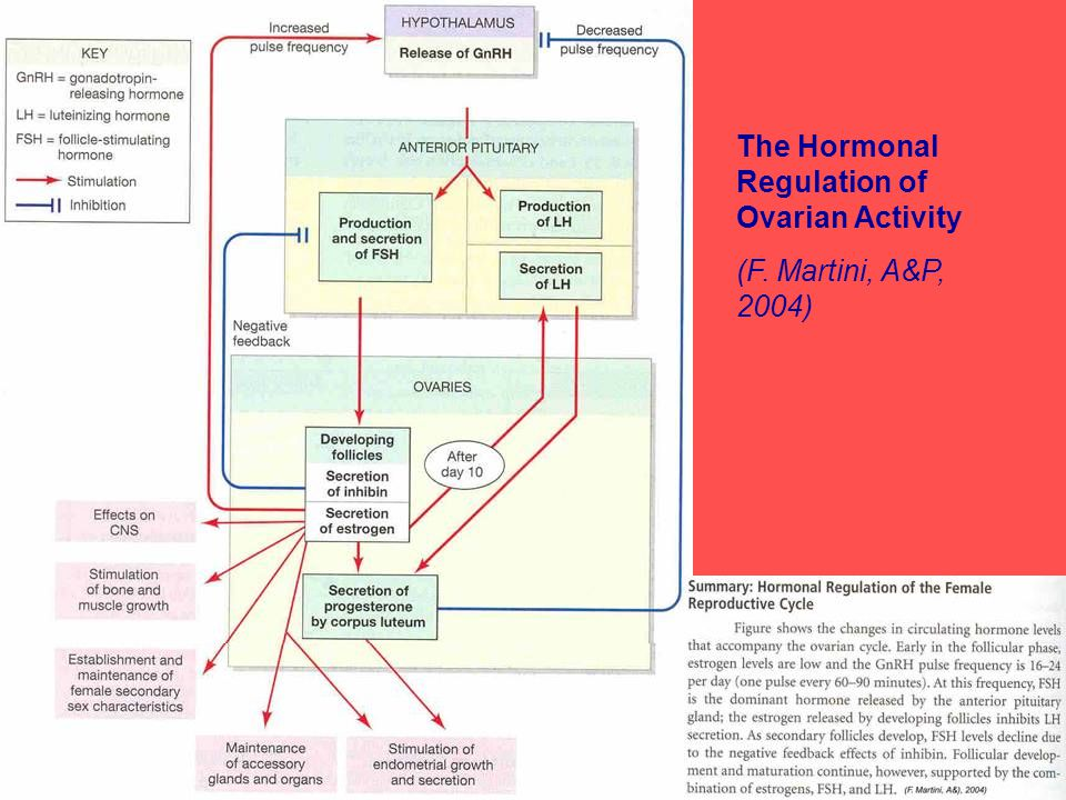 The Hormonal Regulation of Ovarian Activity (F. Martini, A&P, 2004)