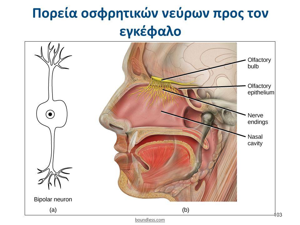 Πορεία οσφρητικών νεύρων προς τον εγκέφαλο boundless.com 103