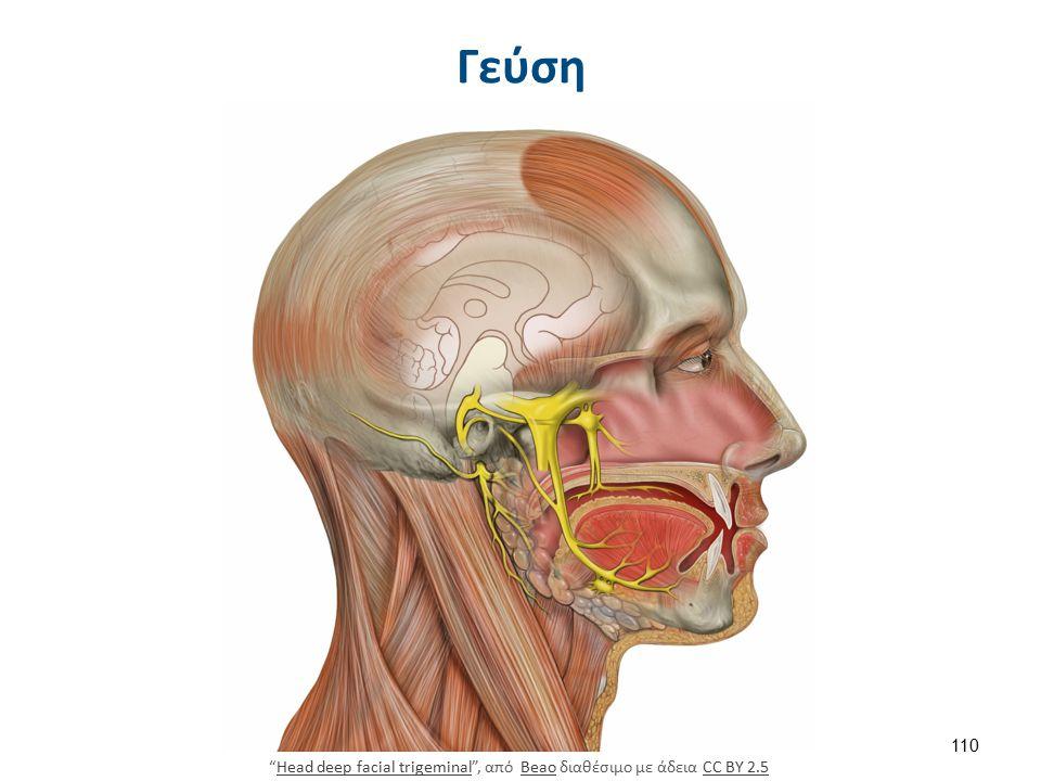 Γεύση Head deep facial trigeminal , από Beao διαθέσιμο με άδεια CC BY 2.5Head deep facial trigeminalBeaoCC BY 2.5 110