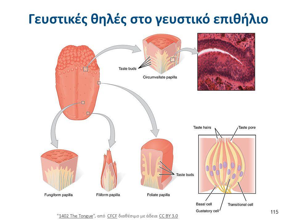 Γευστικές θηλές στο γευστικό επιθήλιο 1402 The Tongue , από CFCF διαθέσιμο με άδεια CC BY 3.01402 The TongueCFCFCC BY 3.0 115