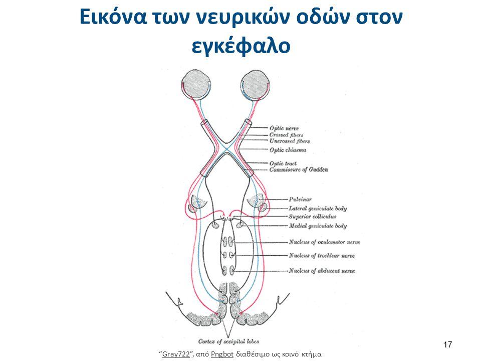 Εικόνα των νευρικών οδών στον εγκέφαλο Gray722 , από Pngbot διαθέσιμο ως κοινό κτήμαGray722Pngbot 17