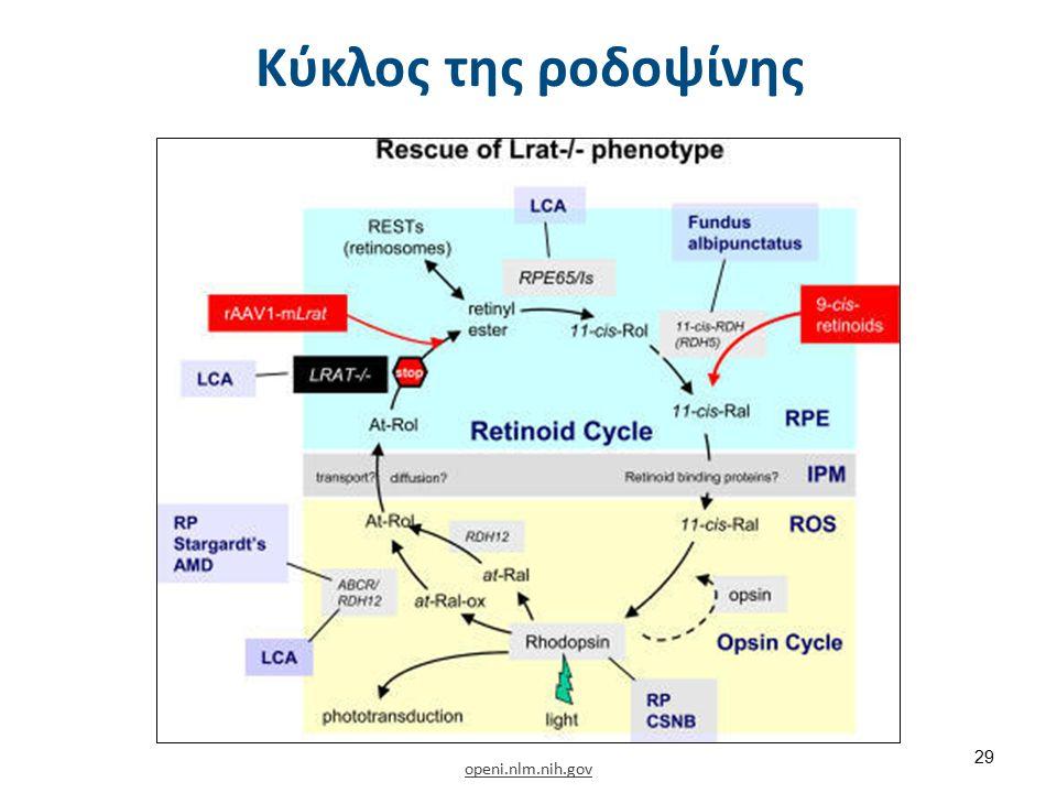 openi.nlm.nih.gov Κύκλος της ροδοψίνης 29