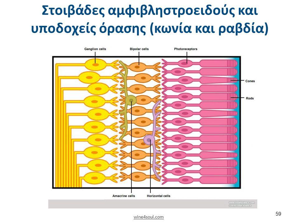 Στοιβάδες αμφιβληστροειδούς και υποδοχείς όρασης (κωνία και ραβδία) wine4soul.com 59