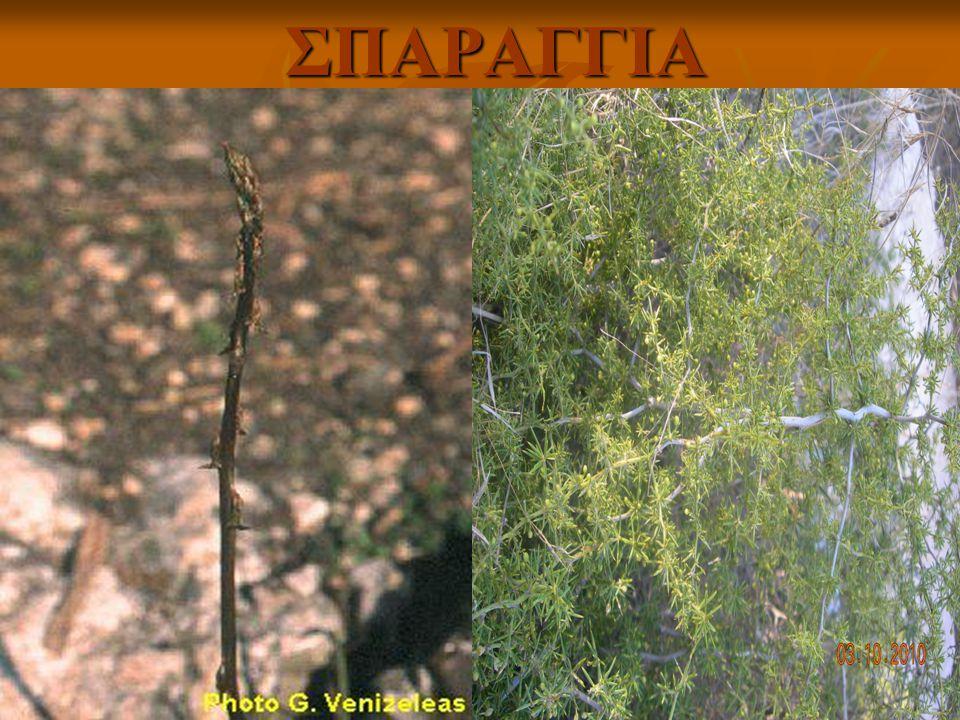 ΣΠΑΡΑΓΓΙΑ Το σπαράγγι (Asparagus officinalis) ήταν γνωστό στην αρχαία Αίγυπτο καθώς έχουν βρεθεί τοιχογραφίες στις πυραμίδες όπου πιστεύεται ότι χρονολογούνται γύρω στο 5000 π.χ.