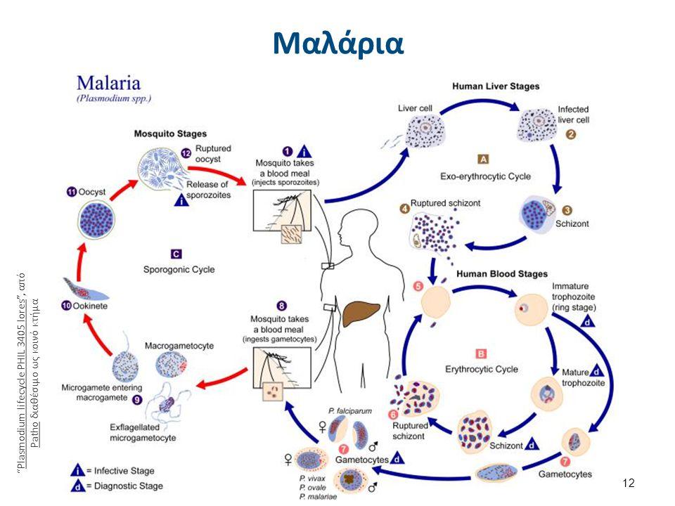 """Μαλάρια 12 """"Plasmodium lifecycle PHIL 3405 lores"""", από Patho διαθέσιμο ως κοινό κτήμαPlasmodium lifecycle PHIL 3405 lores Patho"""