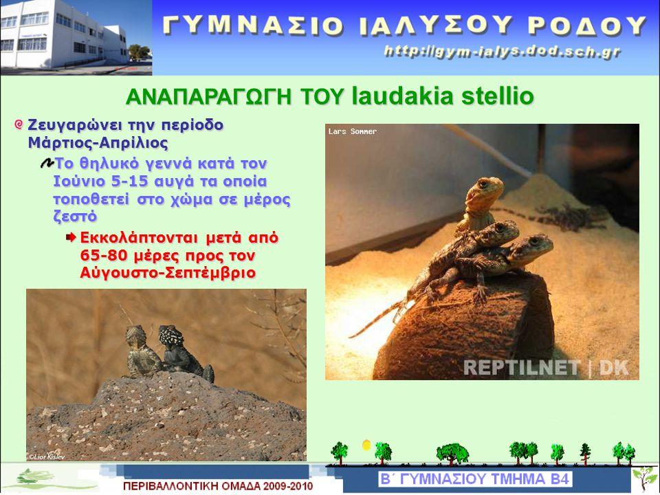 ΤΑΞΙΝΟΜΙΣΗ ΤΟΥ laudakia stellio.