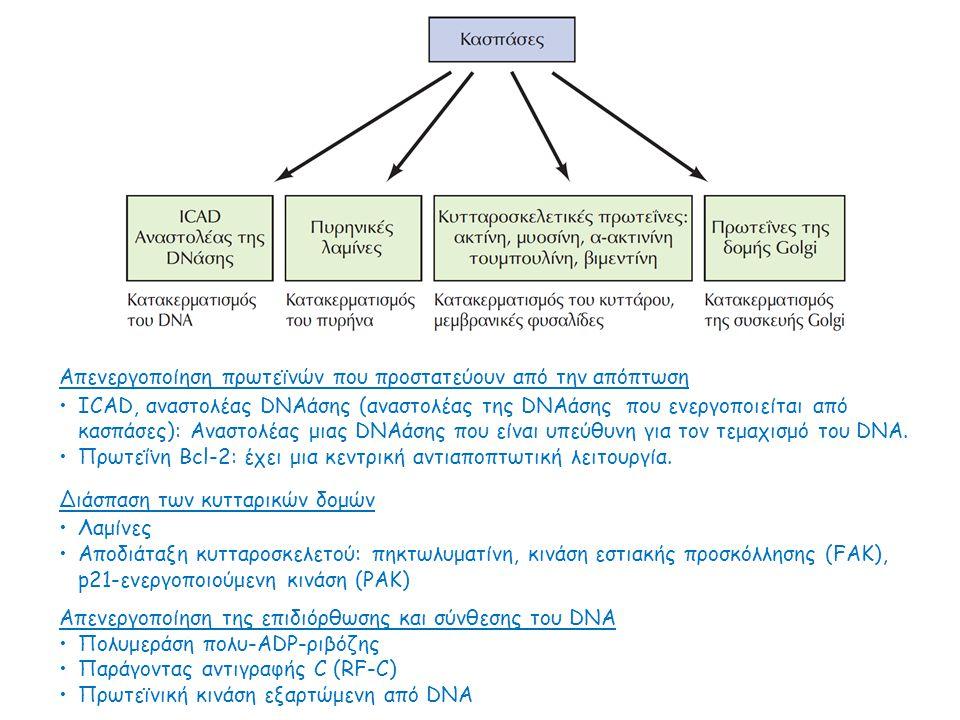 Απενεργοποίηση πρωτεϊνών που προστατεύουν από την απόπτωση ICAD, αναστολέας DNAάσης (αναστολέας της DNAάσης που ενεργοποιείται από κασπάσες): Αναστολέ