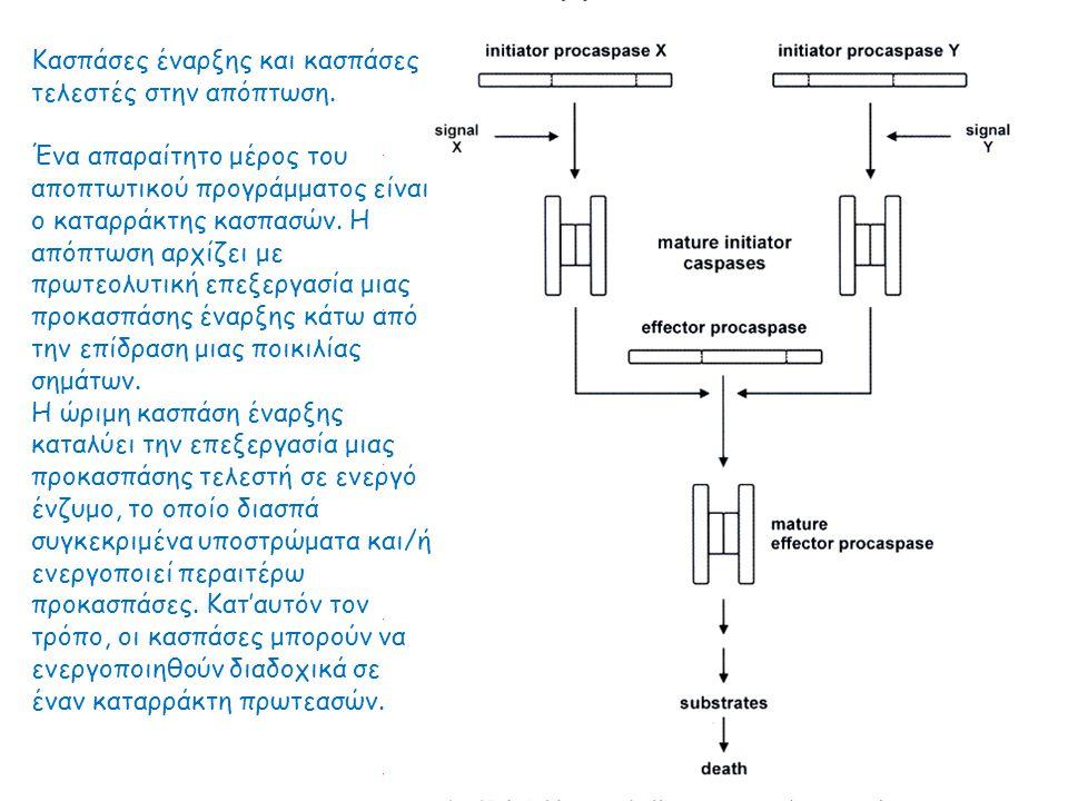 Η εναρκτήρια κασπάση 9 των θηλαστικών ενεργοποιείται στο αποπτώσωμα ως σύμπλοκο με την Apaf-1 και το κυτόχρωμα c.