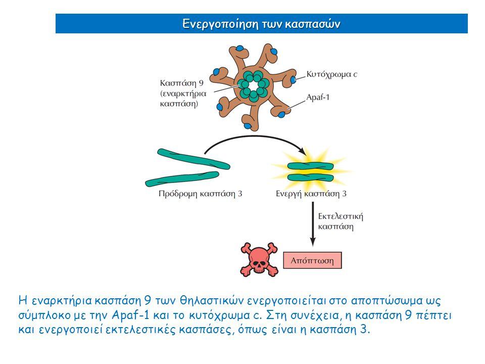 Η εναρκτήρια κασπάση 9 των θηλαστικών ενεργοποιείται στο αποπτώσωμα ως σύμπλοκο με την Apaf-1 και το κυτόχρωμα c. Στη συνέχεια, η κασπάση 9 πέπτει και