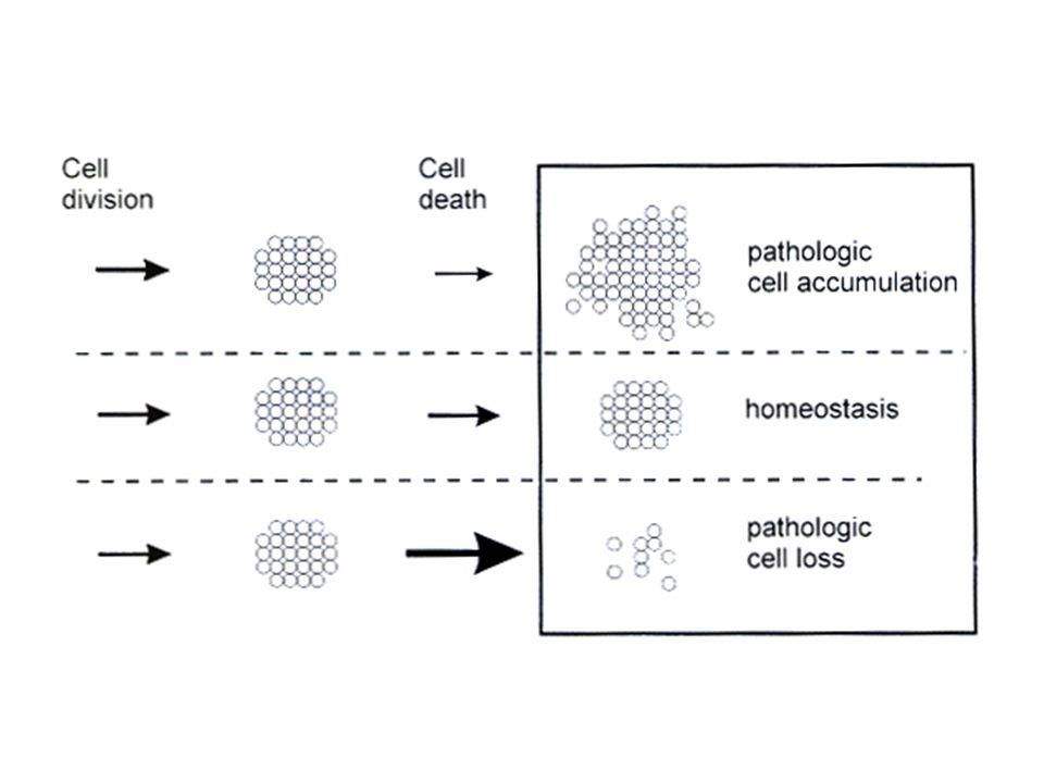 Ο προγραμματισμένος κυτταρικός θάνατος: 1.Αντισταθμίζει τον κυτταρικό πολλαπλασιασμό, με αποτέλεσμα τη διατήρηση σταθερού αριθμού κυττάρων στους ιστούς που βρίσκονται σε διαδικασία κυτταρικής ανανέωσης.