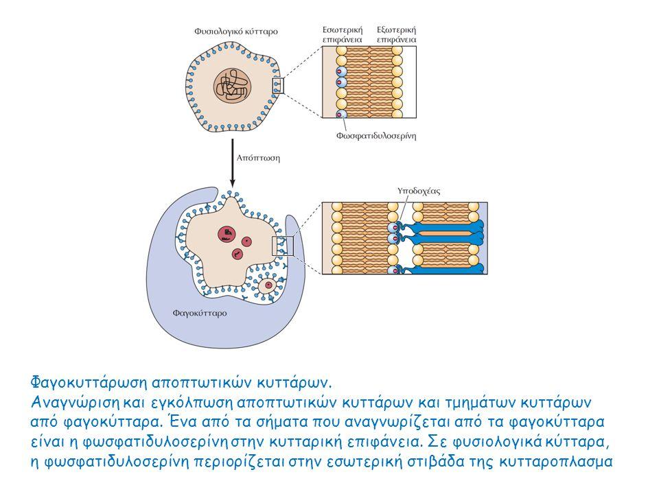 Φαγοκυττάρωση αποπτωτικών κυττάρων. Αναγνώριση και εγκόλπωση αποπτωτικών κυττάρων και τμημάτων κυττάρων από φαγοκύτταρα. Ένα από τα σήματα που αναγνωρ
