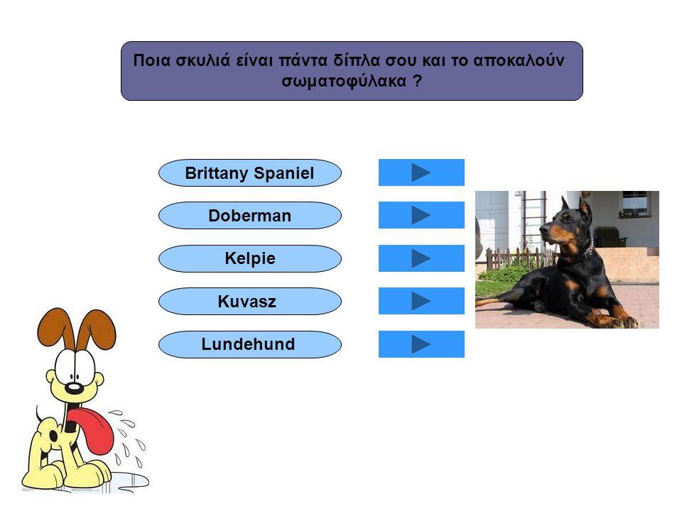 Ποια σκυλιά είναι πάντα δίπλα σου και το αποκαλούν σωματοφύλακα ? Brittany Spaniel Doberman Kelpie Lundehund Kuvasz
