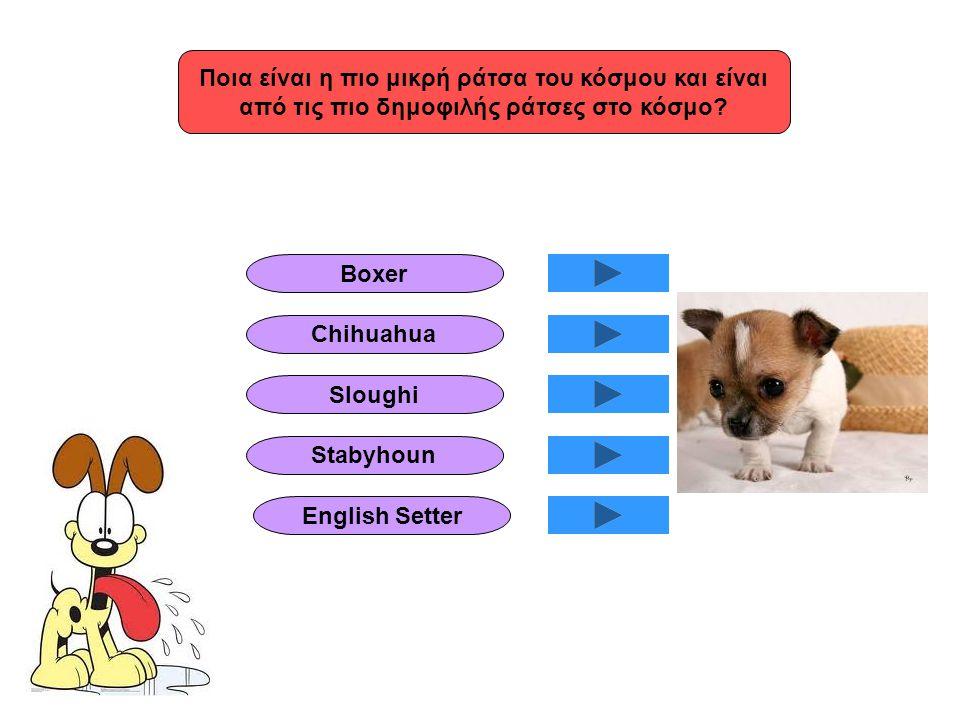 Ποια είναι η πιο μικρή ράτσα του κόσμου και είναι από τις πιο δημοφιλής ράτσες στο κόσμο? English Setter Chihuahua Boxer Stabyhoun Sloughi