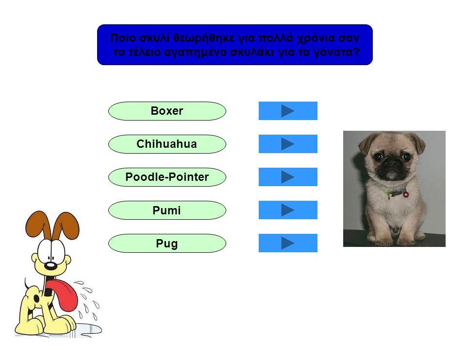 Ποιο σκυλί θεωρήθηκε για πολλά χρόνια σαν το τέλειο αγαπημένο σκυλάκι για τα γόνατα? Boxer Chihuahua Poodle-Pointer Pumi Pug