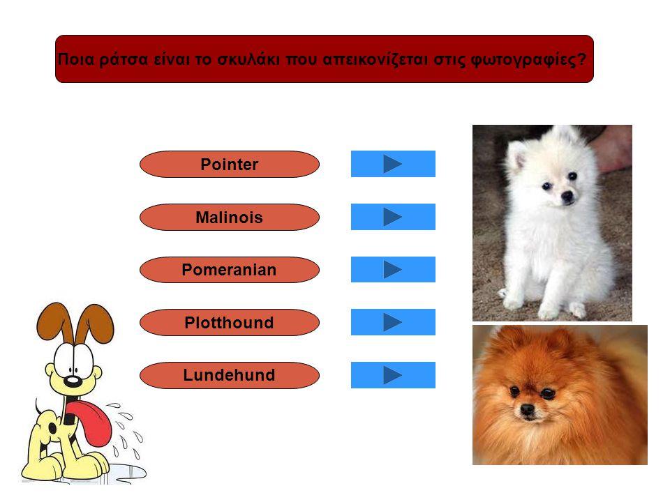 Ποια ράτσα είναι το σκυλάκι που απεικονίζεται στις φωτογραφίες? Pointer Malinois Pomeranian Plotthound Lundehund