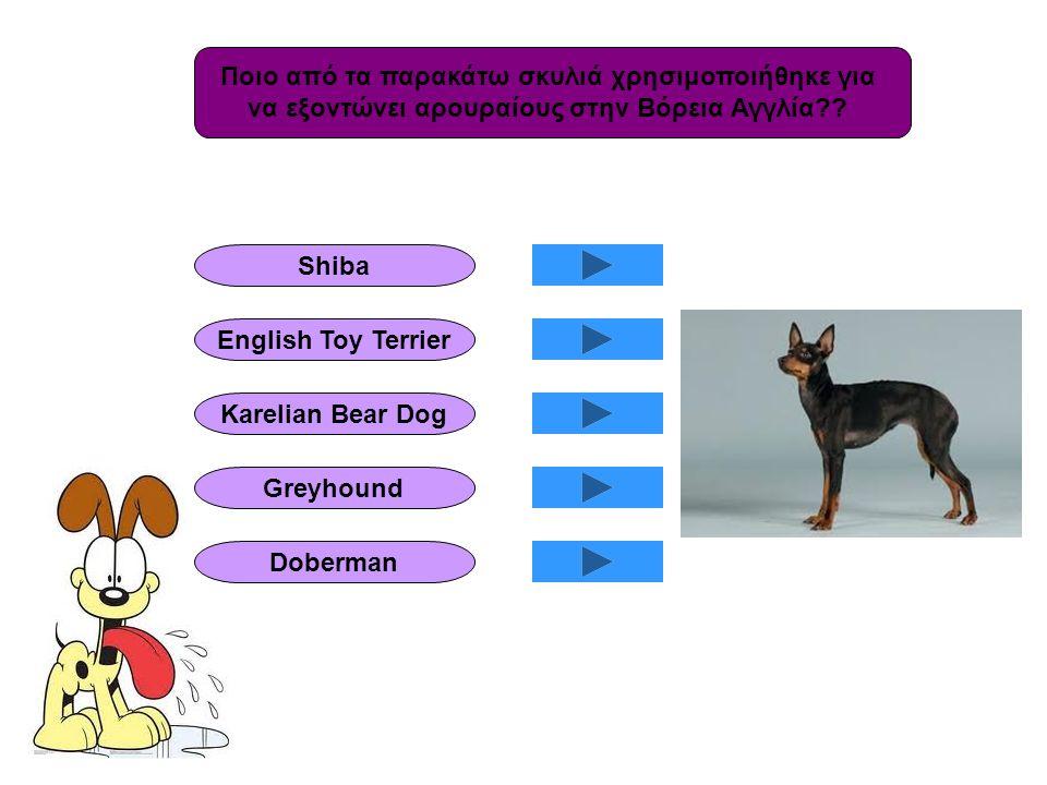 Ποιο από τα παρακάτω σκυλιά χρησιμοποιήθηκε για να εξοντώνει αρουραίους στην Βόρεια Αγγλία?? Shiba English Toy Terrier Karelian Bear Dog Greyhound Dob