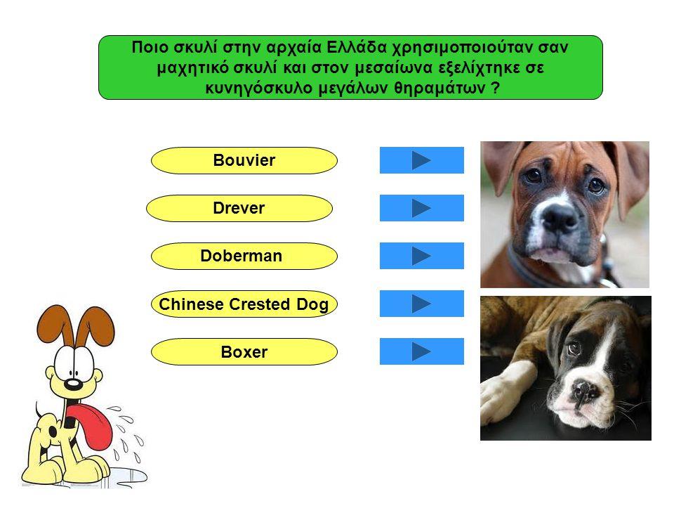 Ποιο σκυλί στην αρχαία Ελλάδα χρησιμοποιούταν σαν μαχητικό σκυλί και στον μεσαίωνα εξελίχτηκε σε κυνηγόσκυλο μεγάλων θηραμάτων ? Bouvier Drever Doberm