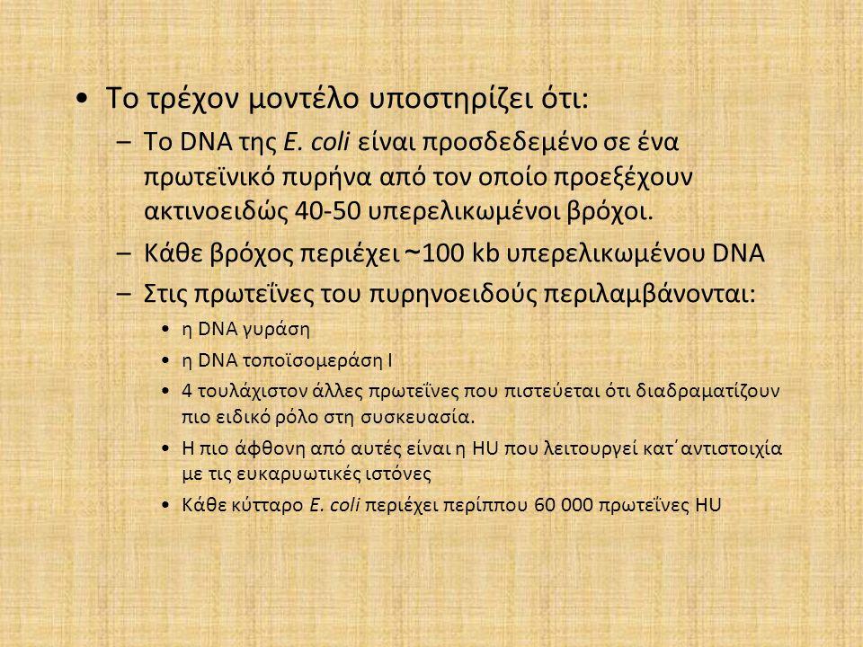 Το τρέχον μοντέλο υποστηρίζει ότι: –Το DNA της E. coli είναι προσδεδεμένο σε ένα πρωτεϊνικό πυρήνα από τον οποίο προεξέχουν ακτινοειδώς 40-50 υπερελικ