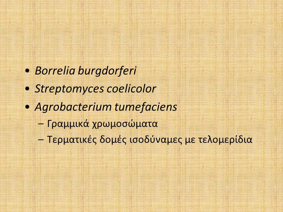 Borrelia burgdorferi Streptomyces coelicolor Agrobacterium tumefaciens –Γραμμικά χρωμοσώματα –Τερματικές δομές ισοδύναμες με τελομερίδια