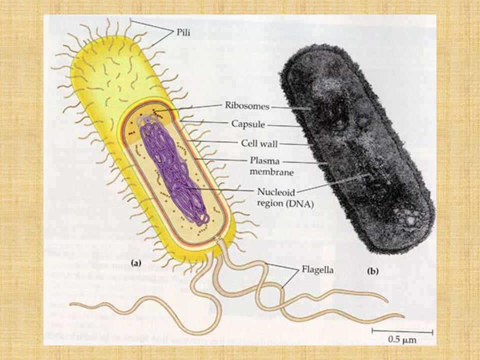 Στο γονιδίωμα της E.