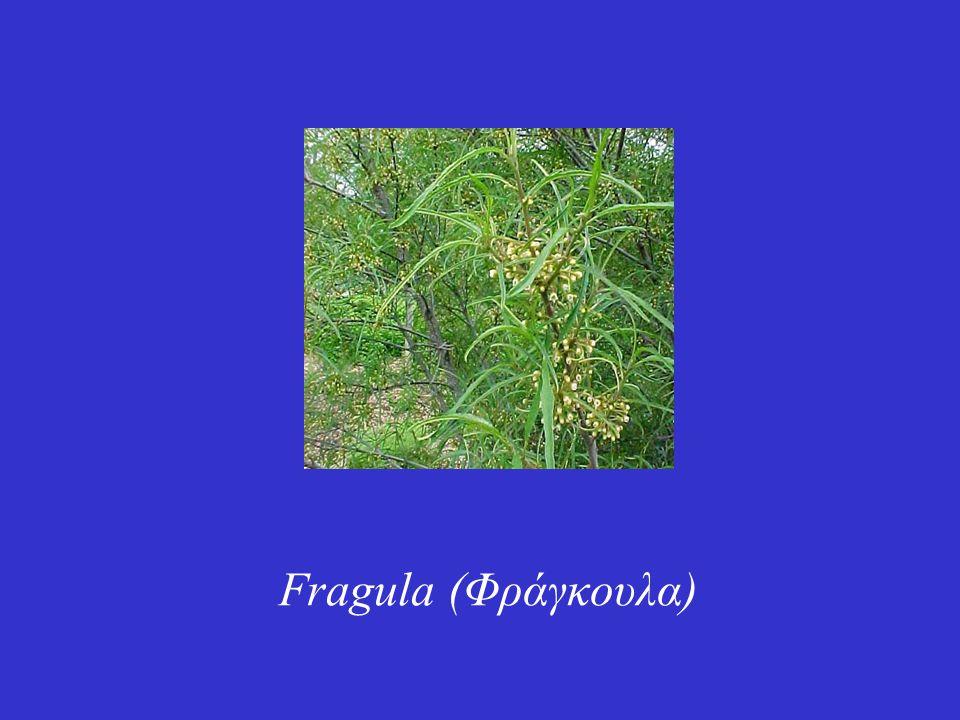 Είναι ένα θαμνώδες φυτό αυτοφυές στην Ευρώπη και την Δυτική Ασία.