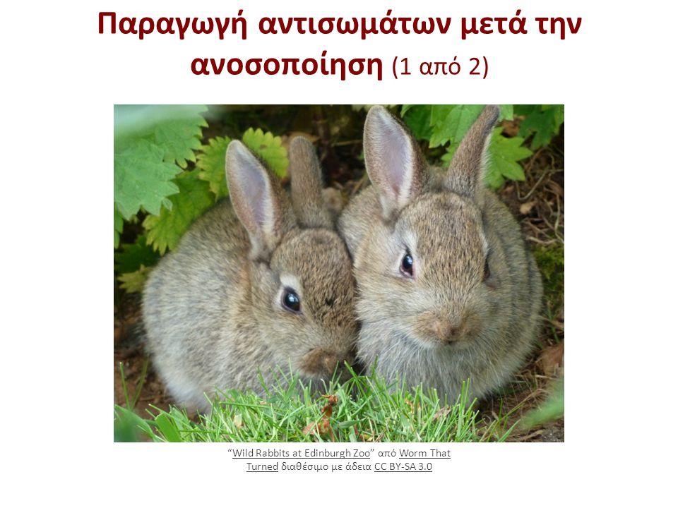 """Παραγωγή αντισωμάτων μετά την ανοσοποίηση (1 από 2) """"Wild Rabbits at Edinburgh Zoo"""" από Worm That Turned διαθέσιμο με άδεια CC BY-SA 3.0Wild Rabbits a"""