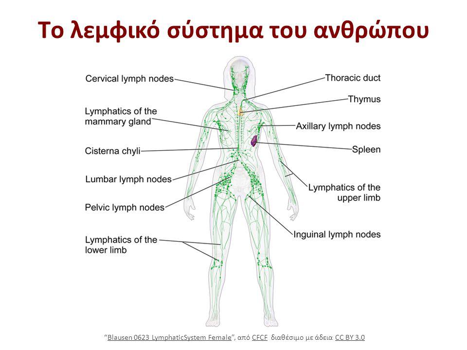 """Τo λεμφικό σύστημα του ανθρώπου """"Blausen 0623 LymphaticSystem Female"""", από CFCF διαθέσιμο με άδεια CC BY 3.0Blausen 0623 LymphaticSystem FemaleCFCFCC"""