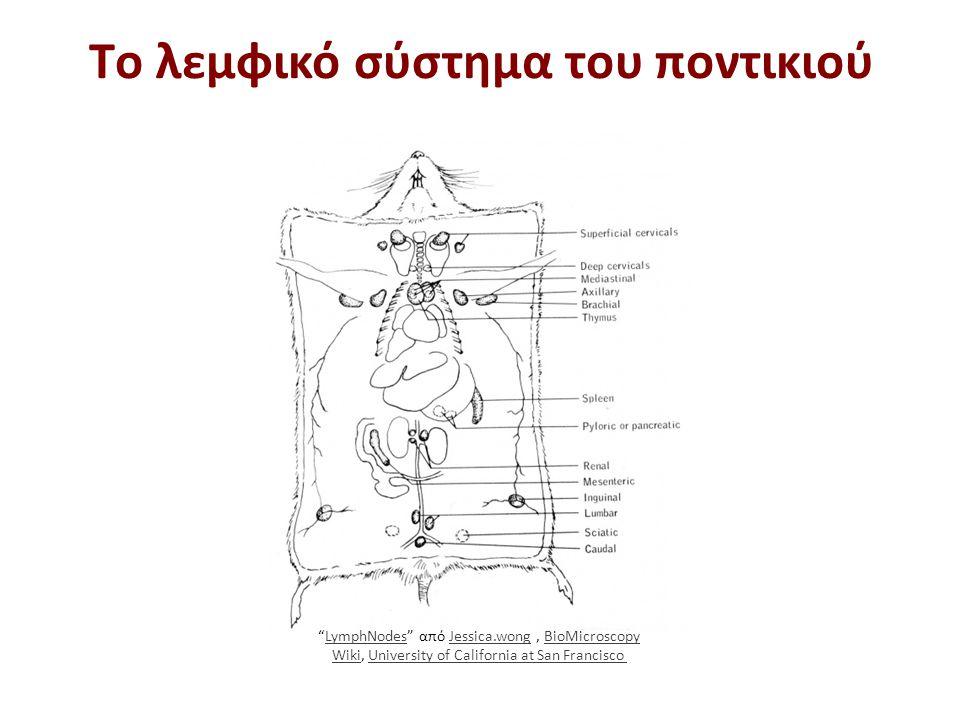 """Τo λεμφικό σύστημα του ποντικιού """"LymphNodes"""" από Jessica.wong, BioMicroscopy Wiki, University of California at San Francisco LymphNodesJessica.wongBi"""