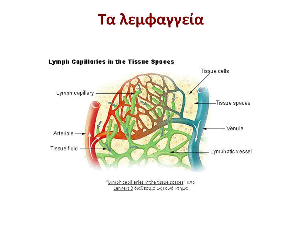 """Τα λεμφαγγεία """"Lymph capillaries in the tissue spaces"""" από Lennert B διαθέσιμο ως κοινό κτήμαLymph capillaries in the tissue spaces Lennert B"""